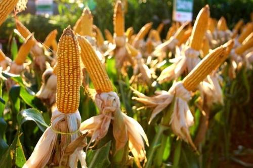 브라질 농산물 생산량 신기록 행진 9년만에 '숨 고르기'